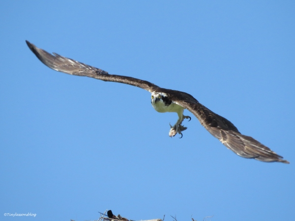 Papa Osprey flies to his man cave with the rest of the fish...
