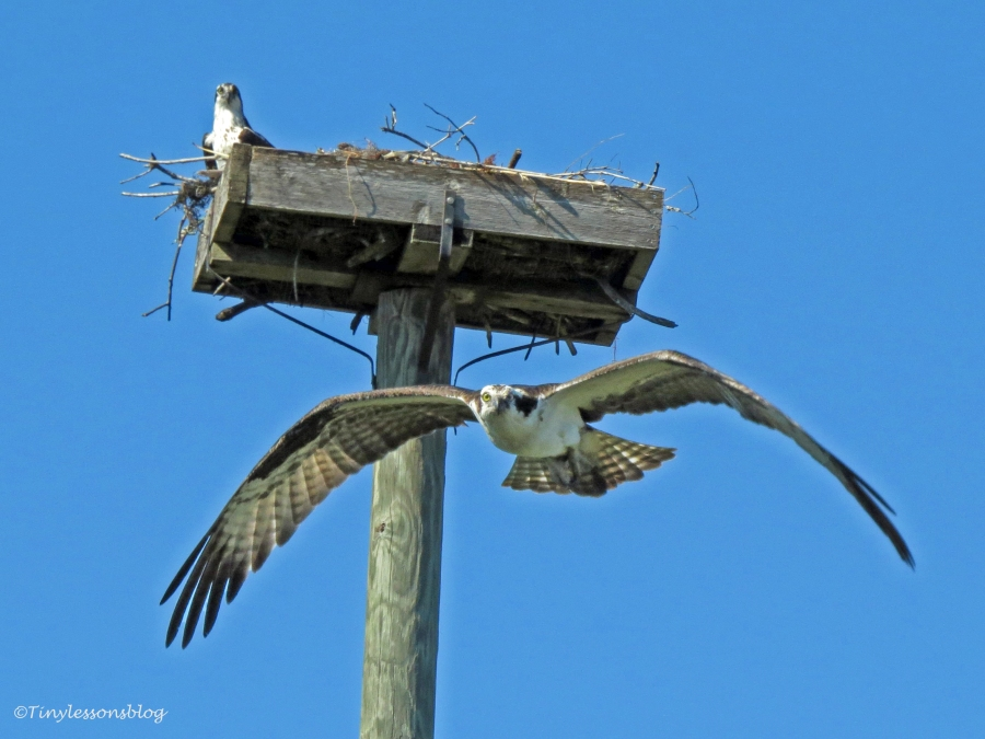 osprey flying out from the nest by tiny
