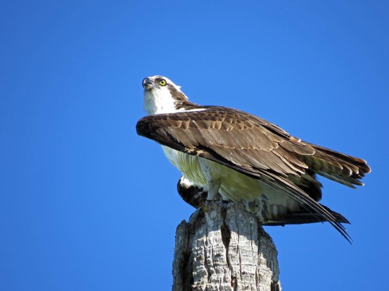 male osprey sand key clearwater fl