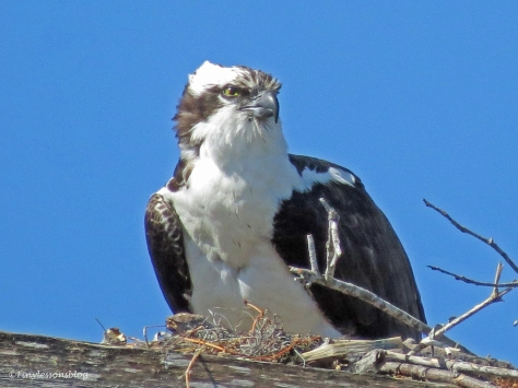 male osprey in the nest by tiny
