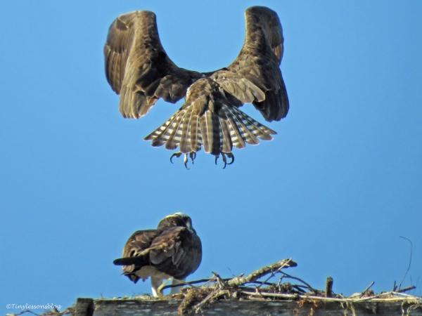 osprey landing in the nest by tiny