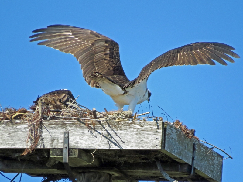 osprey leaves again to check the situation