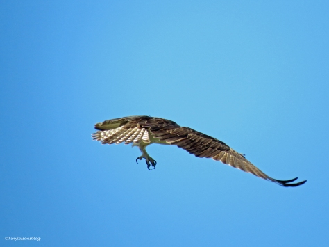 male osprey leaves the nest