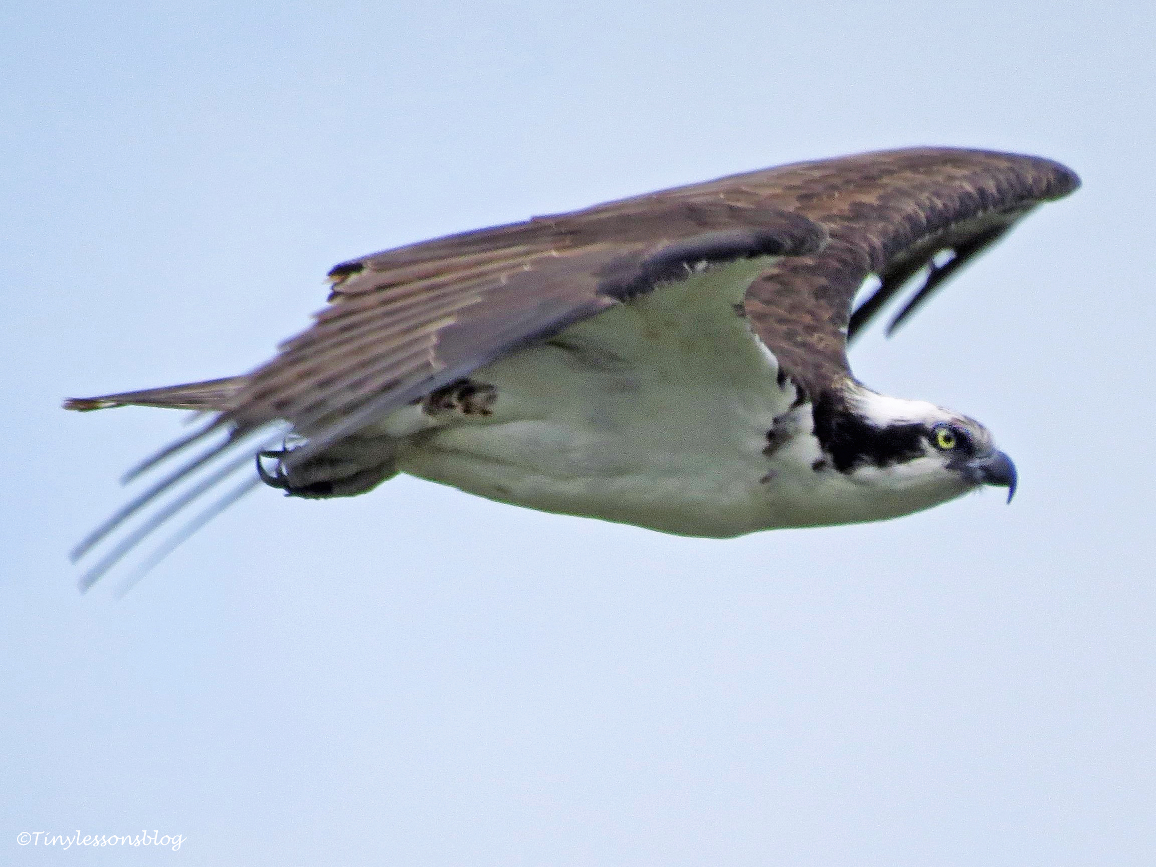 Osprey on defense mission...Sand key park clearwater florida