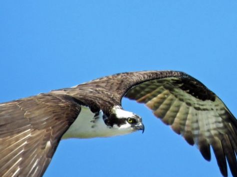 male osprey patrols the marsh in sand key park clearwater fl