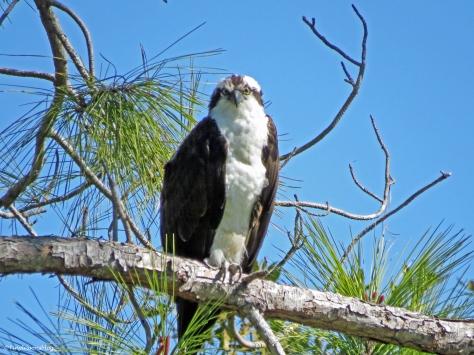 male osprey perching in a pine tree
