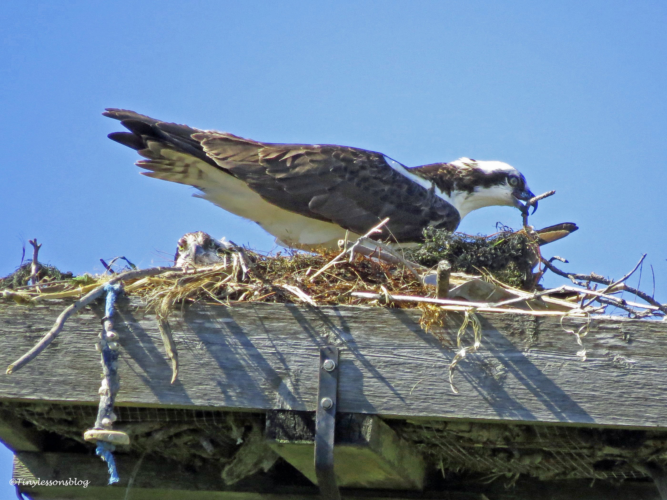 male osprey repairs the nest