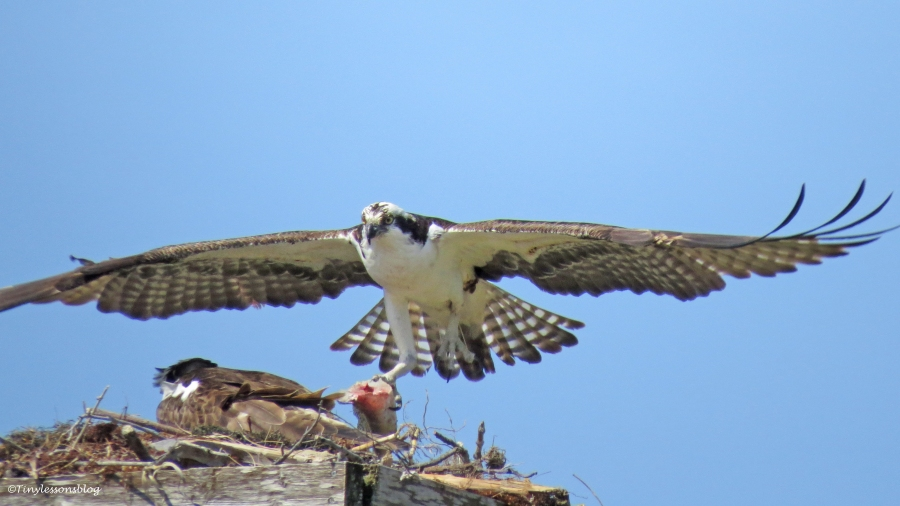 osprey returns with his fish 16x9