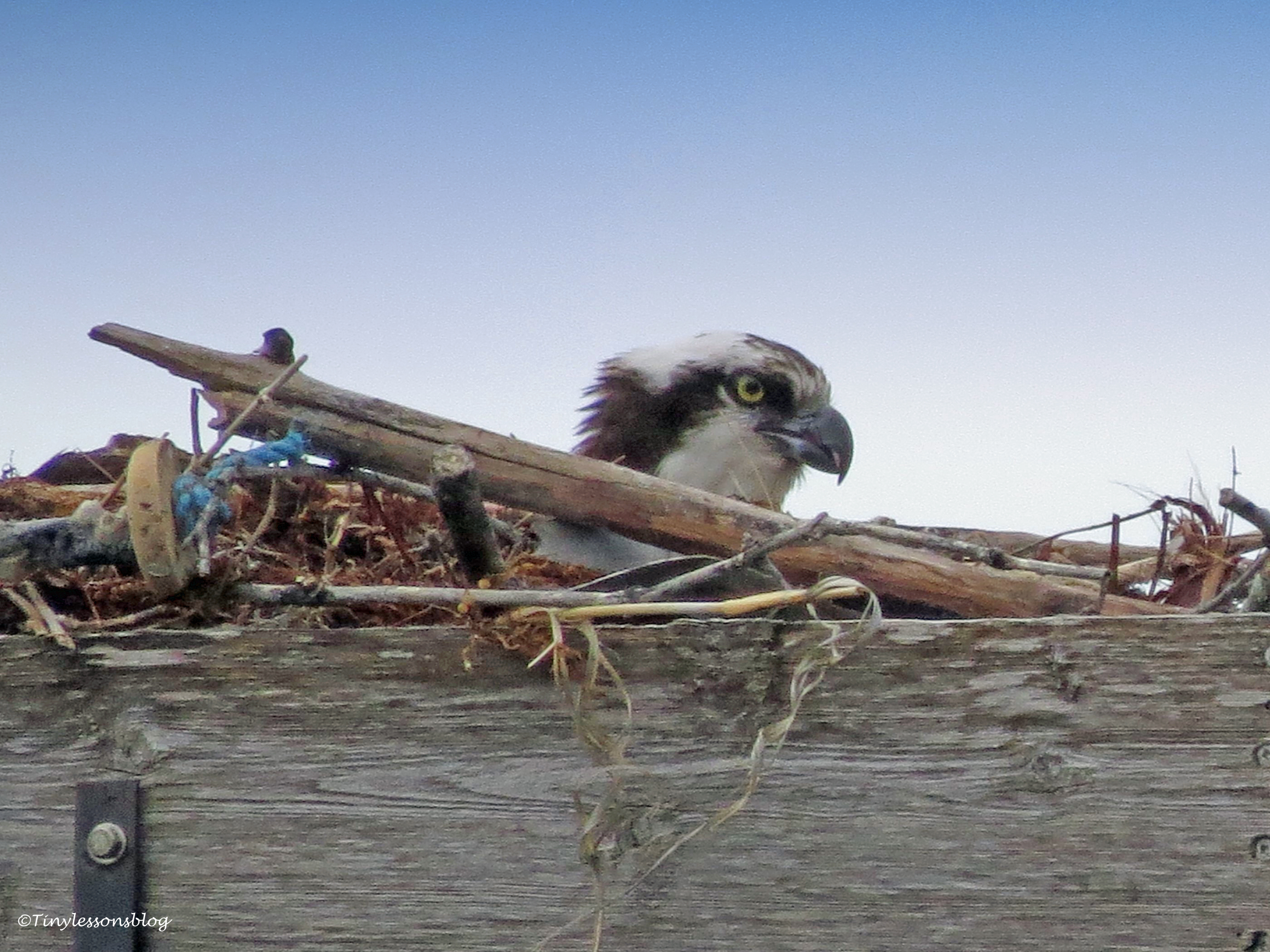 Papa Osprey sits on the egg(s)...