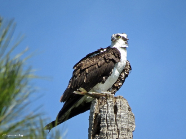 papa osprey watching the bald eagles by tiny
