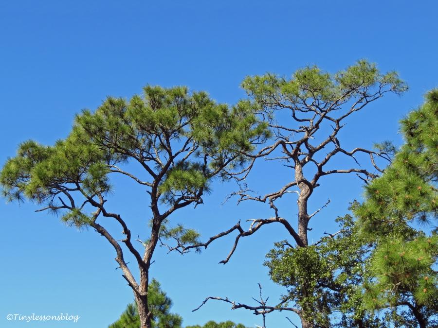 Caladesi island old pine trees