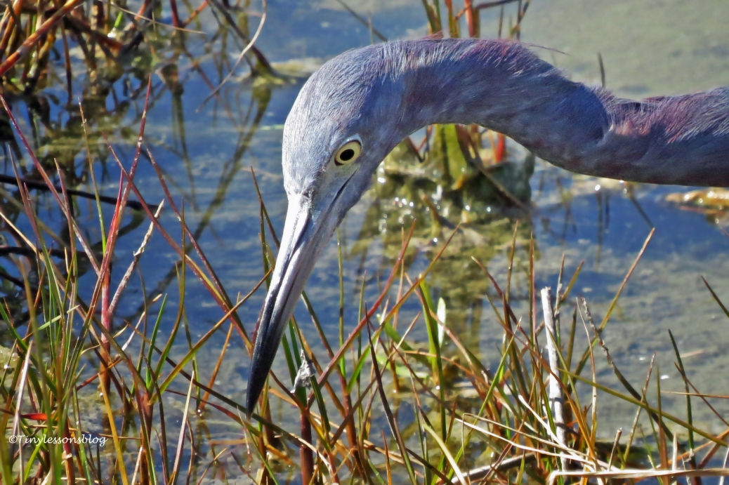 portrait of little blue heron3 SU by tiny