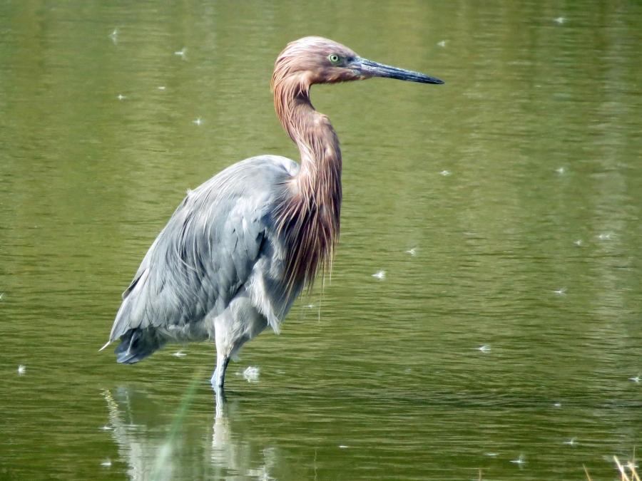 reddish egret sand key park salt marsh clearwater fl