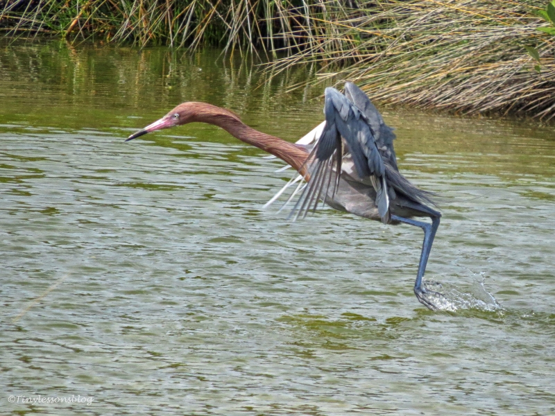 reddish egret hunting 2 by tiny