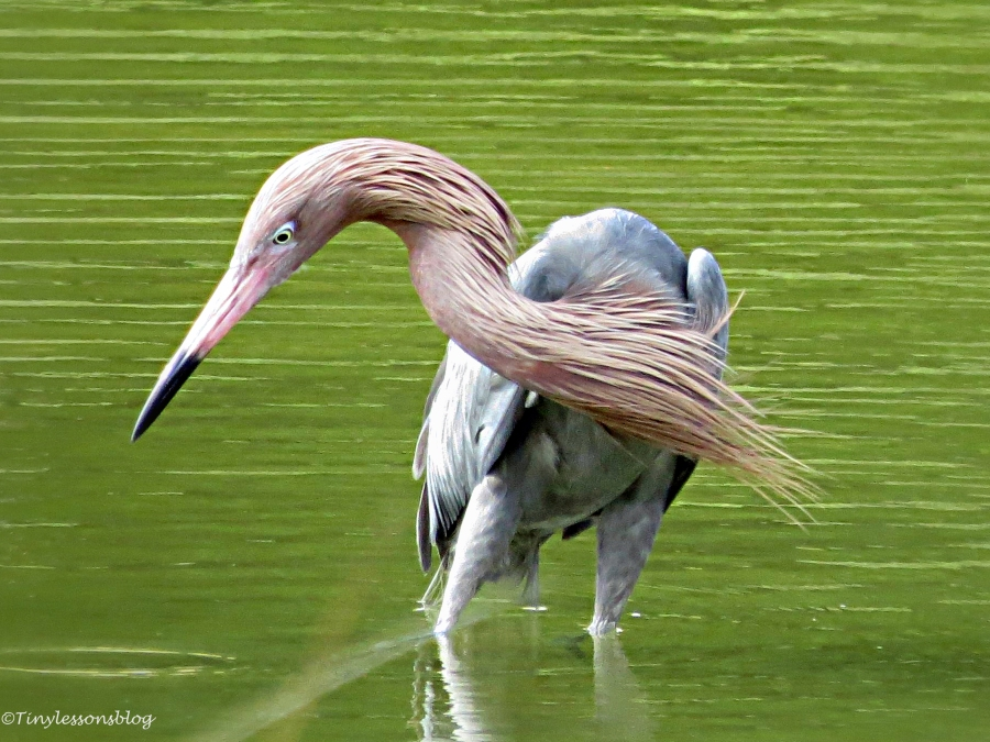 reddish egret hunting by tiny