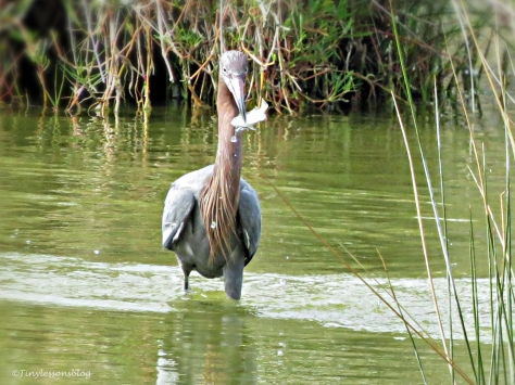 reddish egret with a fish  by tiny