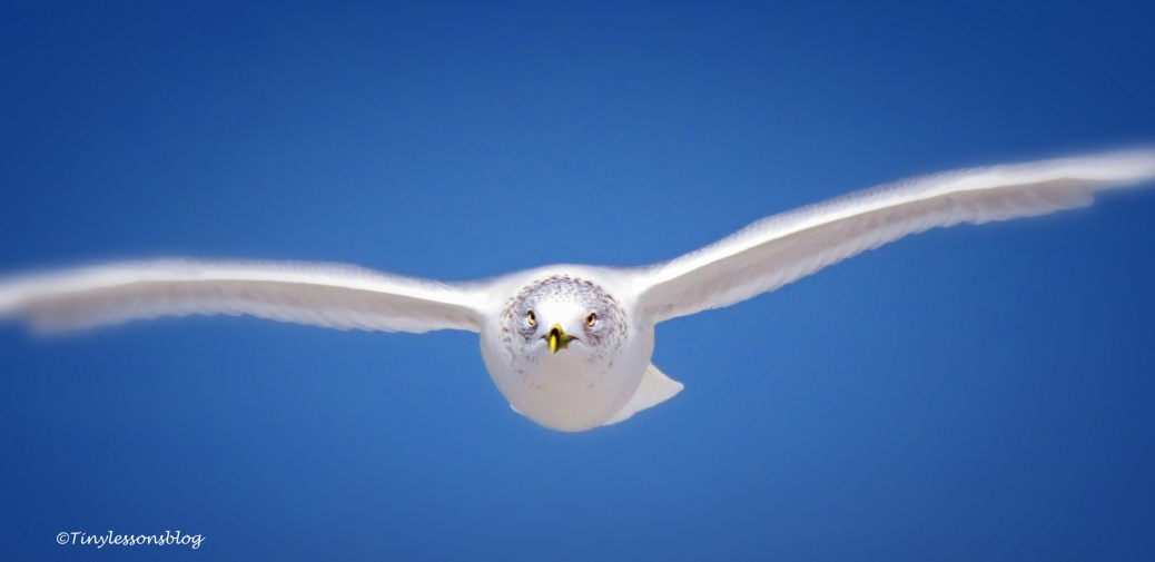 ringbilled gull 16x9 by tinyK