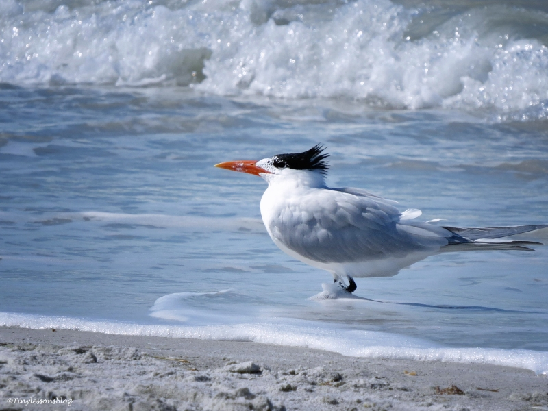 Royal tern sand key clearwater florida