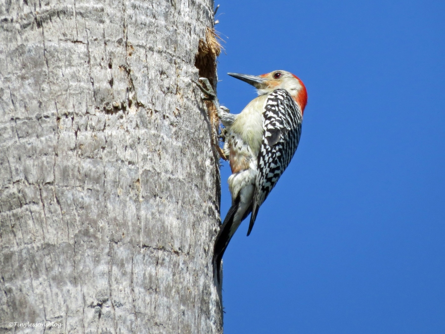 A red-bellied Woodpecker in sand key park clearwater florida