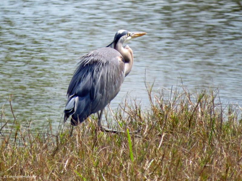 great blue heron sand key park cleaarwater florida