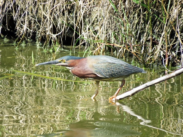 green heron Sand Key Park Clearwater Florida