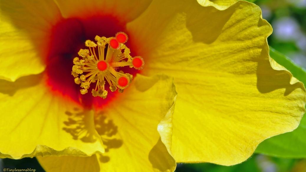 Hibiscus flower macro