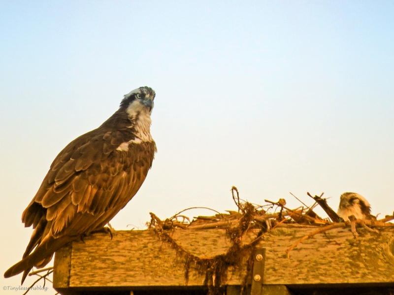 osprey couple at sunset time in Sand Key Park Clearwater Florida