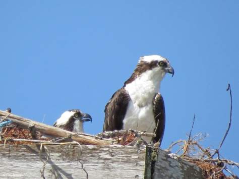 an osprey couple in the nest Sand key park Clearwater Florida