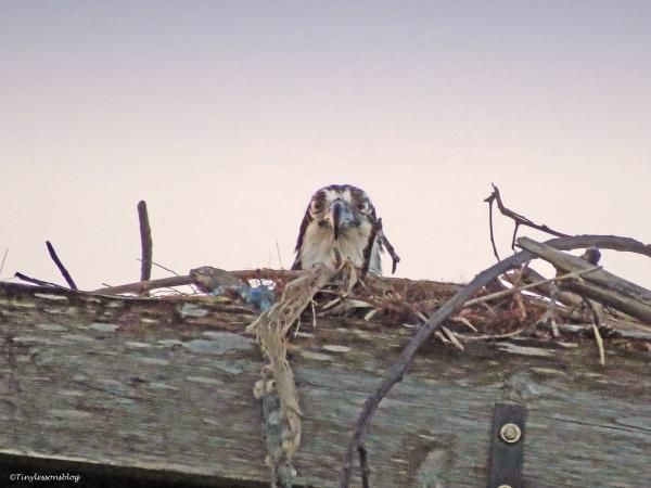 mama osprey at sunset