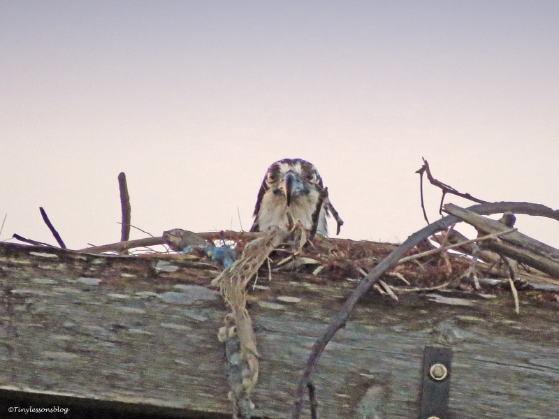 mama osprey at sunset