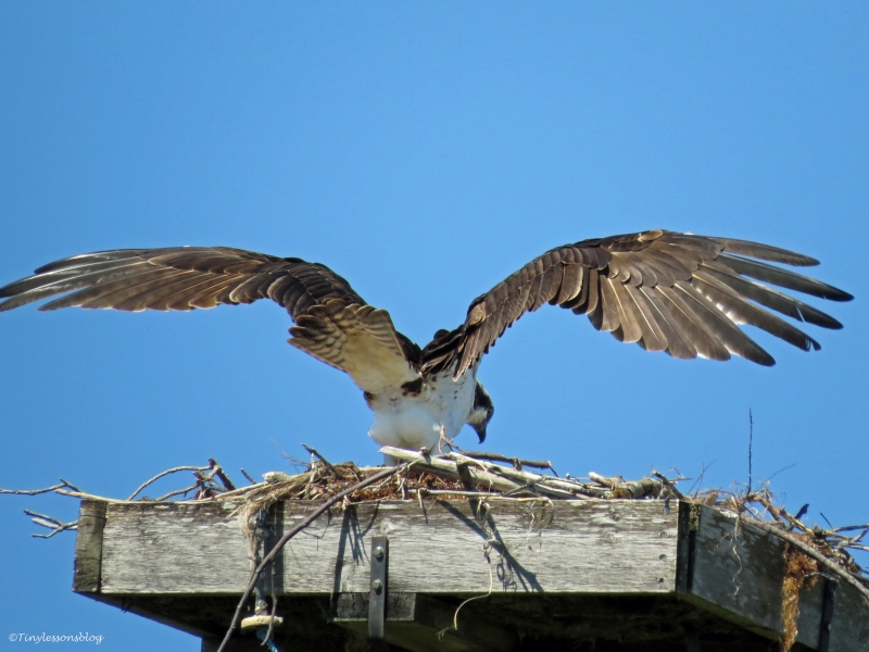Mama osprey checks on the eggs Sand Key Park Clearwater Florida