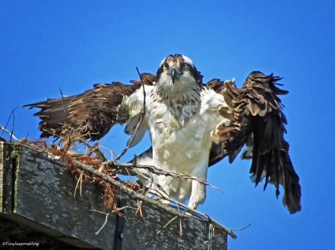female osprey dries herself Sand Key Park Clearwater Florida