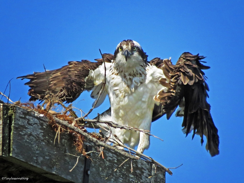 female osprey dries herself Sand Key Park Clearwater Florida