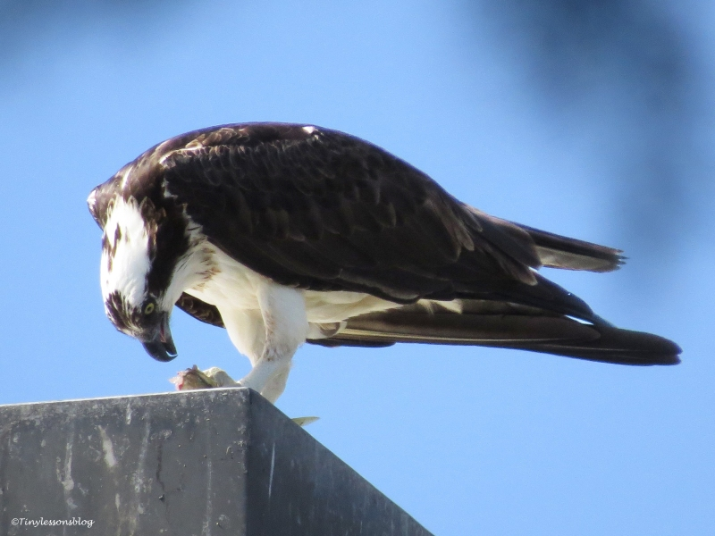 osprey eats on a lamp-post