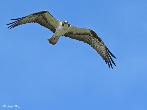 Mama Osprey flies around the nest