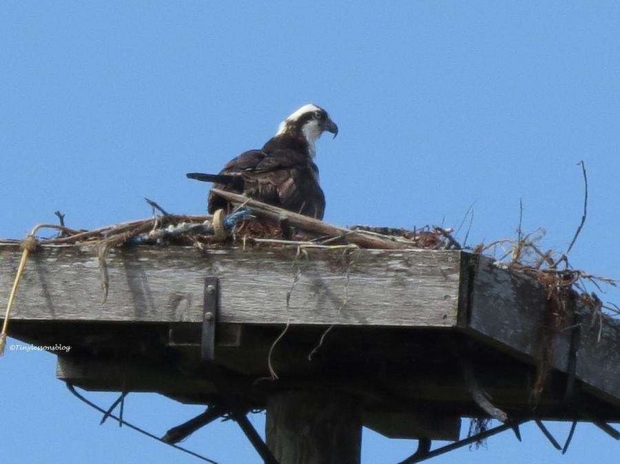 female osprey in the nest
