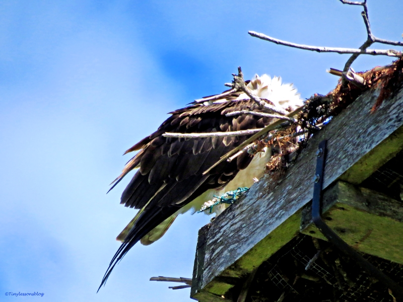 female osprey preens