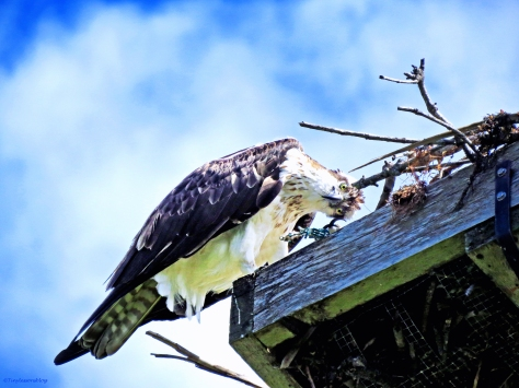 It's Mama Osprey! She can be funny too...
