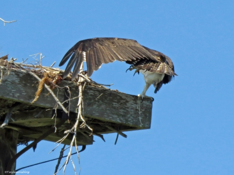 mama osprey does her workout