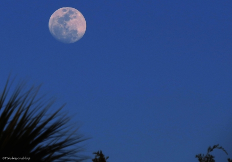 moon over salt marsh after sunset in Sand key Park Clearwater Florida