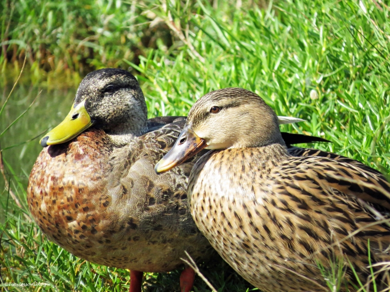 MOTTLED DUCK COUPLE