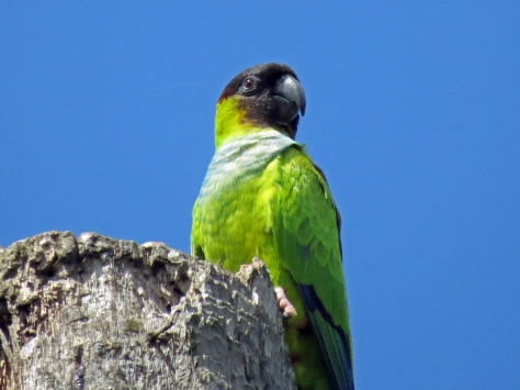 nanday parakeet in sand key park clearwater florida