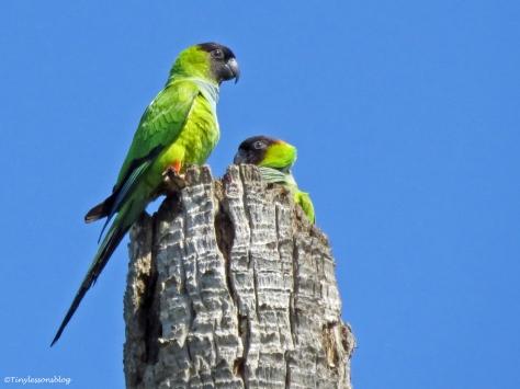 nanday parakeet couple Sand Key Park Clearwater Florida
