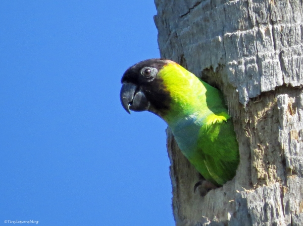 nanday parakeet Sand Key Park Clearwater Florida