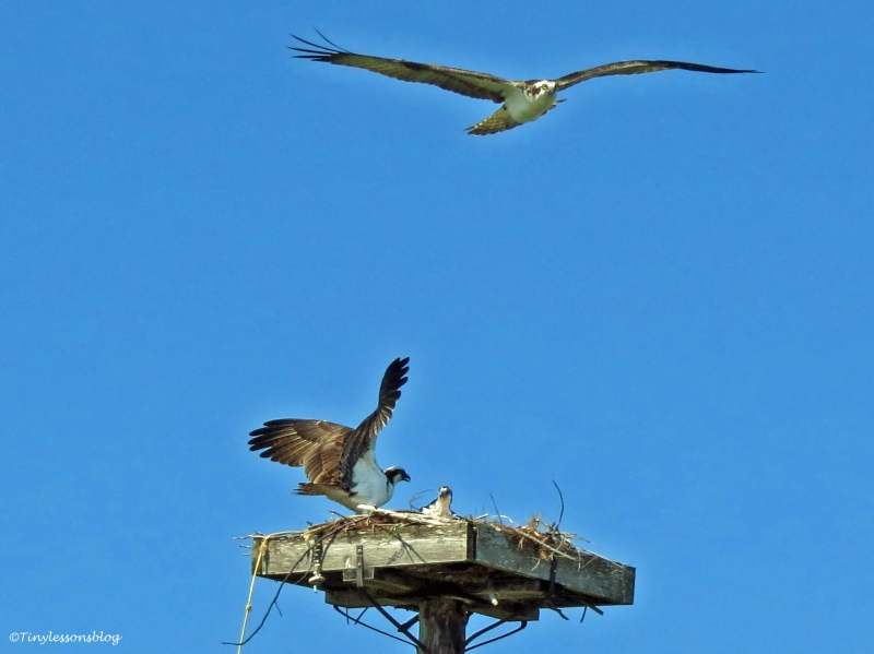 another osprey flies above the nest Sand Key Park Clearwater Florida