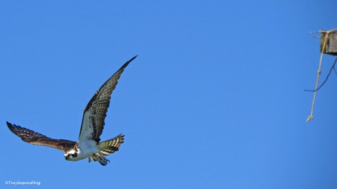 male osprey flies out of the nest Sand Key Park Clearwater Florida