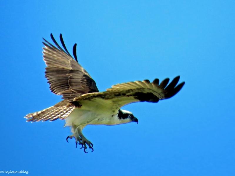 papa osprey 2 WW