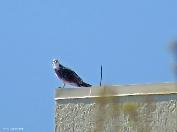 osprey on the roof of sand key Marriott resort