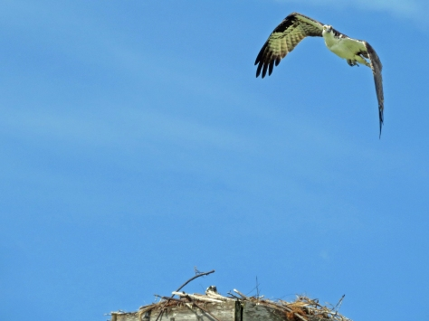 male osprey flies over the nest Sand Key Park Clearwater Florida