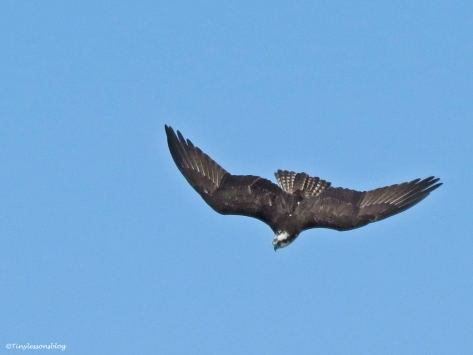 male osprey dives chasing an intruder